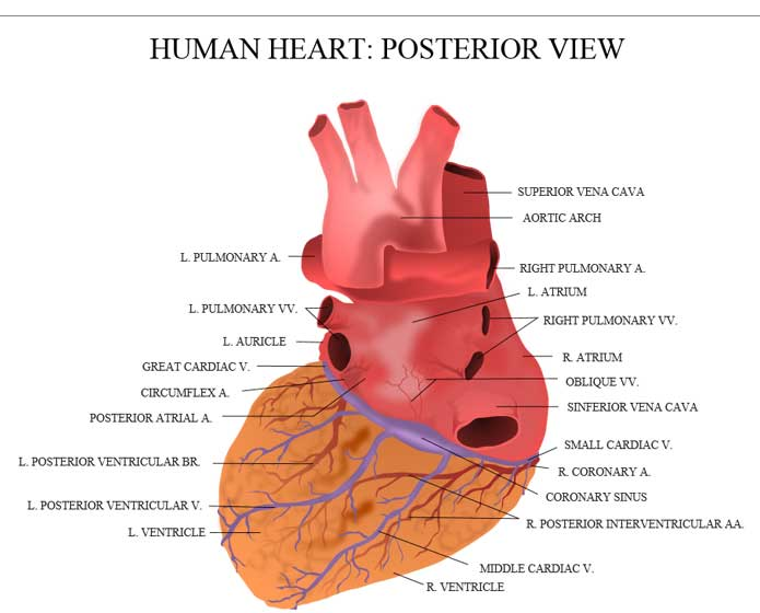 Heart facts for kids science with kids ccuart Images
