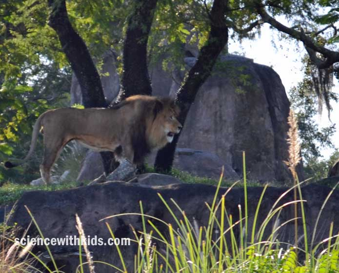 Animal Kingdom lion