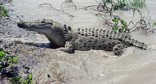 reptile facts saltwater crocodile