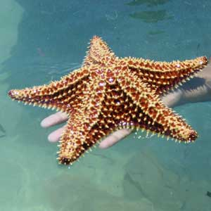 facts about starfish