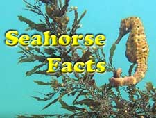 Seahorse Facts Video